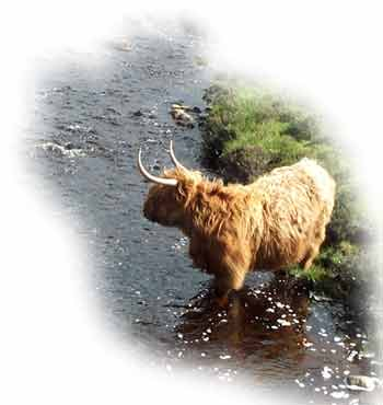 Highland Cow in the river