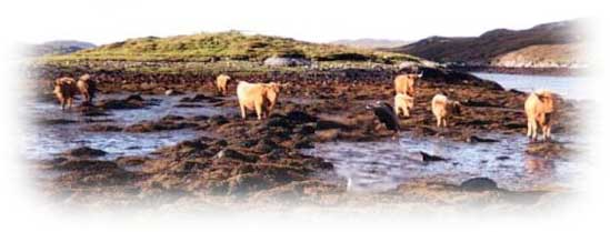 Cattle along shore